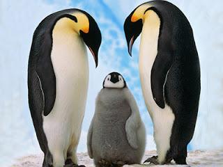 Koloni Pinguin Raib Akibat Pemanasan Global