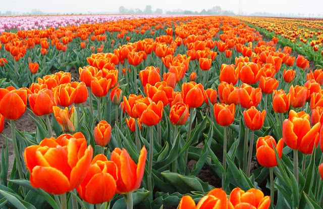Spring Season in Holland