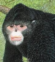 elvis monkey