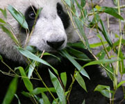 Giant Panda Sanctuaries