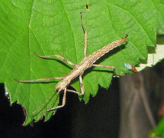 Insecto Palo (fásmidos o fasmatodeos) Animal con i