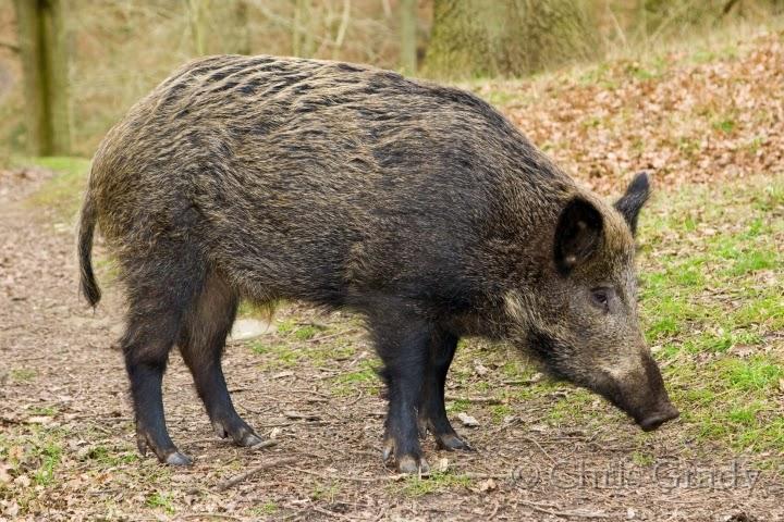 الخنزير البرّي