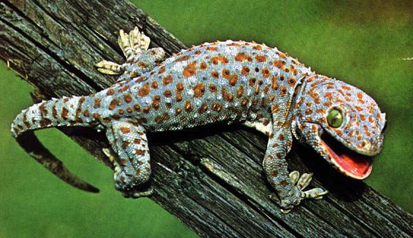 cicak gecko, haiwan paling lama hidup di bumi, info cicak, info minda, informasi minda