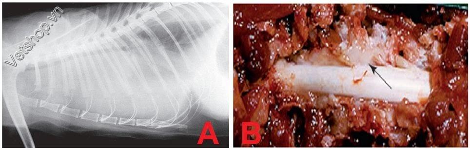 Hình 3: (A) X-Ray xoang ngực mèo thấy tràn dịch màng phổi và không thấy bóng tim. (B) Có khối u (mũi tên) ngoài màng cứng, kết quả chẩn đoán là ung thư hạch