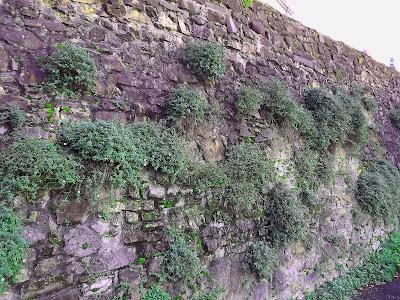 Mur cimenté, recouvert exclusivement de Paquerette des murailles (Erigeron karvinskianus)