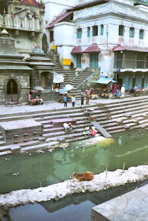 Kalb im Bagmati River am Pashupatinath