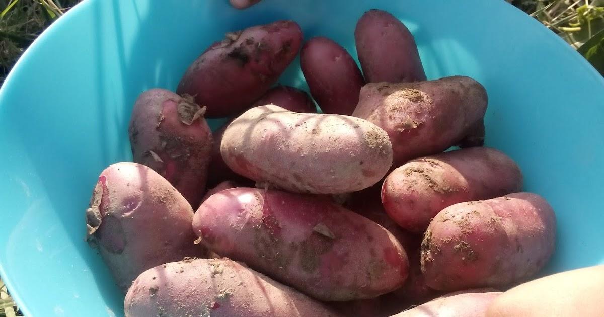 A pousse en morbihan des pommes de terre sous paillis en - Pomme de terre sous paille ...
