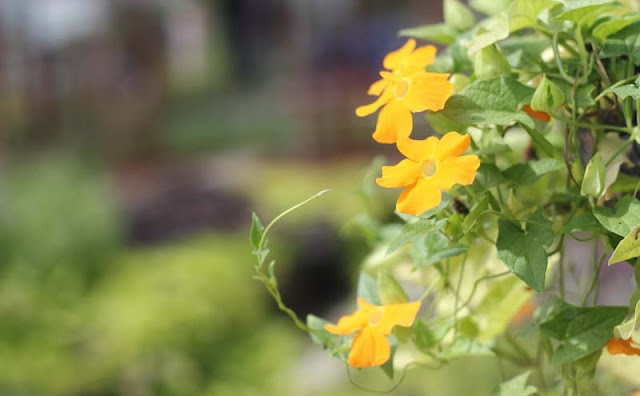 Black-Eyed Susan Vine Flowers Pictures