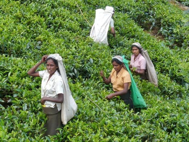 Plantaciones de Té en Sri Lanka