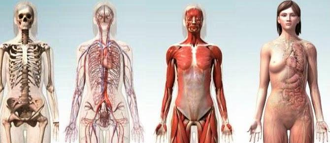 cuerpo humano 3d