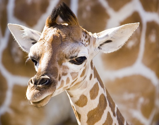 Rules of the Jungle: Birth of the Baby Giraffe