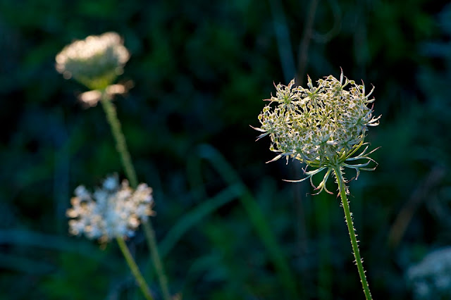 Nova Scotia; Hirtle's Beach; Queen Anne's Lace