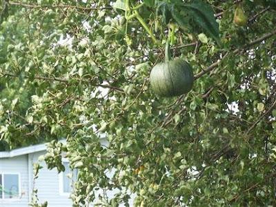 Labu dijumpai tumbuh di atas pokok buah pear di Iowa