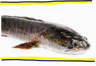 Khasiat & Manfaat Ikan Gabus