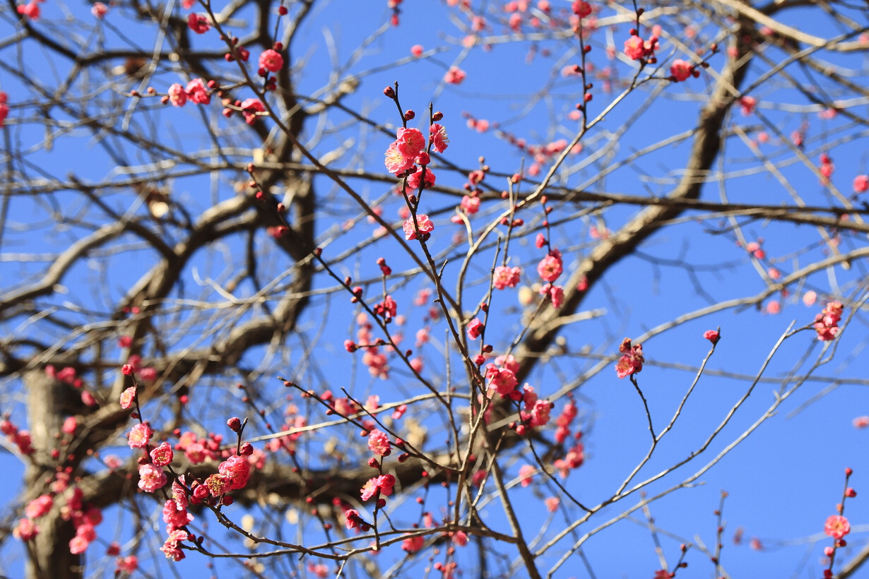 冬空と紅梅と栗の木と