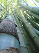 Bambu PR