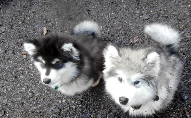 Siberian husky bookends black and white dresses