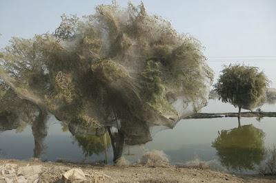 Pohon-Pohon di Pakistan Diselimuti Sarang Laba-Laba
