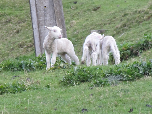 Photo Friday - Photographing New Zealand - Happy Frolicking Lambs