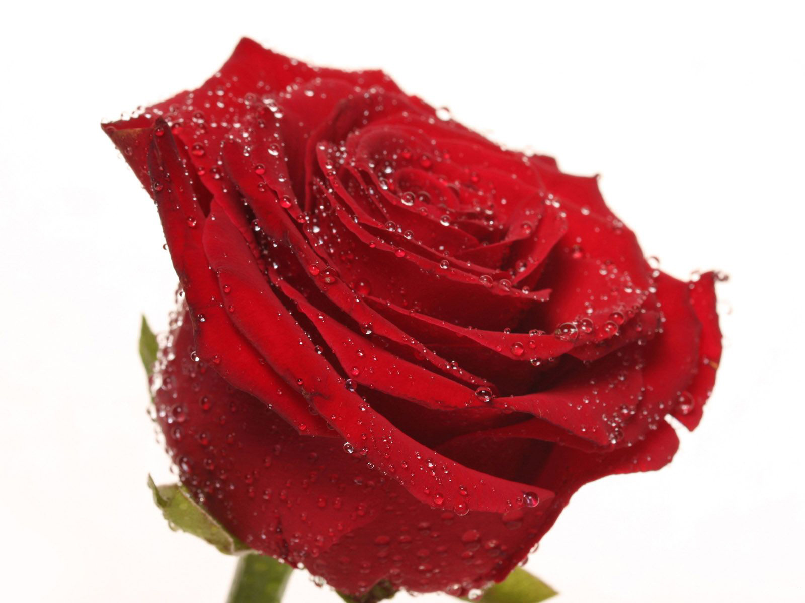 http://4.bp.blogspot.com/-akEQCGjZgRE/TkEiozTA2rI/AAAAAAAAA28/rDNYZj8_wxk/s1600/The-best-top-desktop-roses-wallpapers-hd-rose-wallpaper-22-white-background-red-rose.jpg