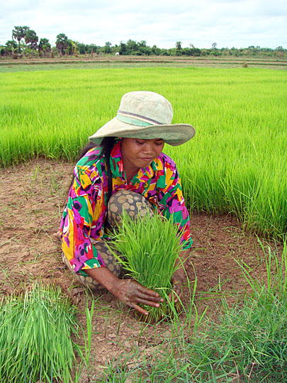 Rice harvesting in Kratie