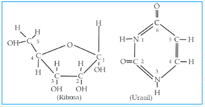 Rumus kimia gula pentosa (Ribosa) dan basa urasil dari RNA