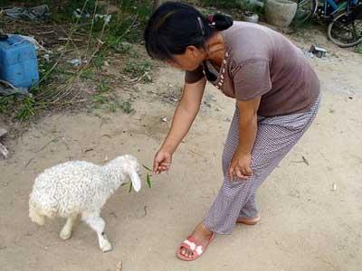 very cute two legged lamb