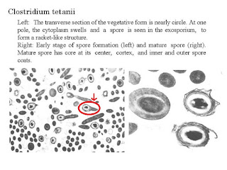 Clostridium Tetani medical treatment and therapy