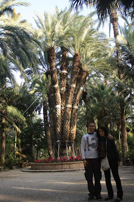 Imperial Palm in Hort del Cura in Elche