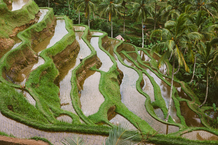Indonesia, Tegalalang Rice Terraces, rice fields,
