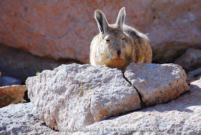 lebre ou coelho boliviano