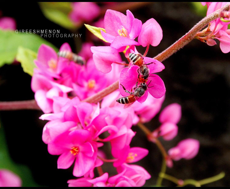 Flowers Gireeshmenon Pink Coral Vine Antigonon Leptopus