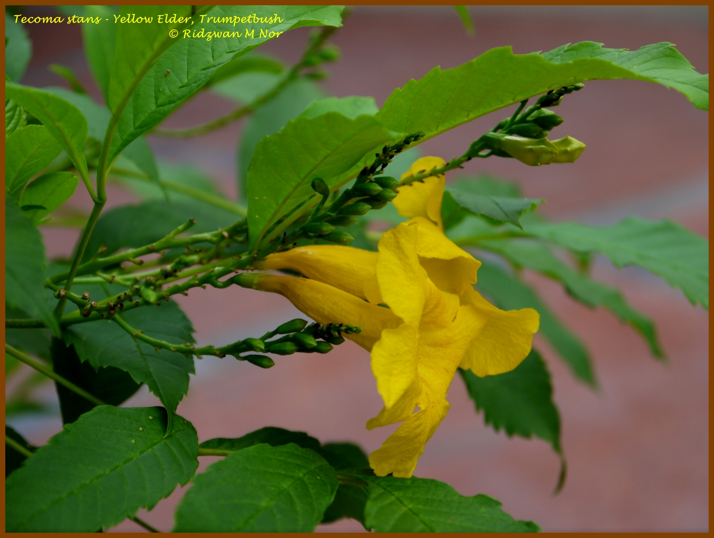 Tecoma Stans Yellow Elder Trumpetbush Flowers Around Us By