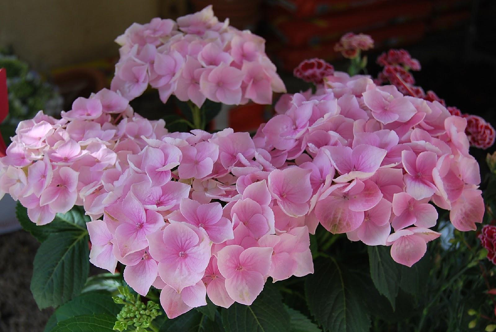 Fotos de flores de hortensias