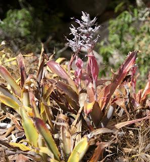 Ursulaea tuitensis flower