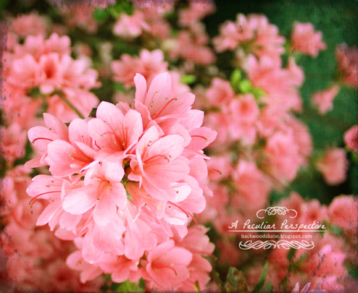 azalea floral photography canvas