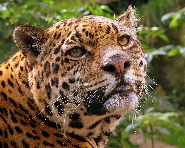 jaguares. Black Bedroom Furniture Sets. Home Design Ideas