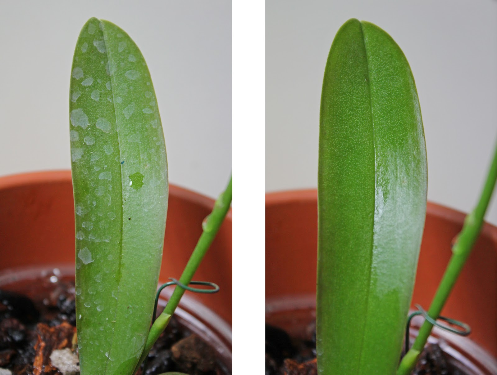 Types Of Orchids Leaves