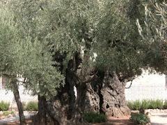 CENTURIES OLD OLIVE - GETHSEMANE