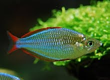 Aquarium keeping dwarf neon rainbowfish for Dwarf rainbow fish