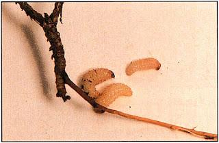 Личинки винного долгоносика