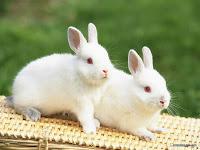 Membersihkan Kelinci Putih