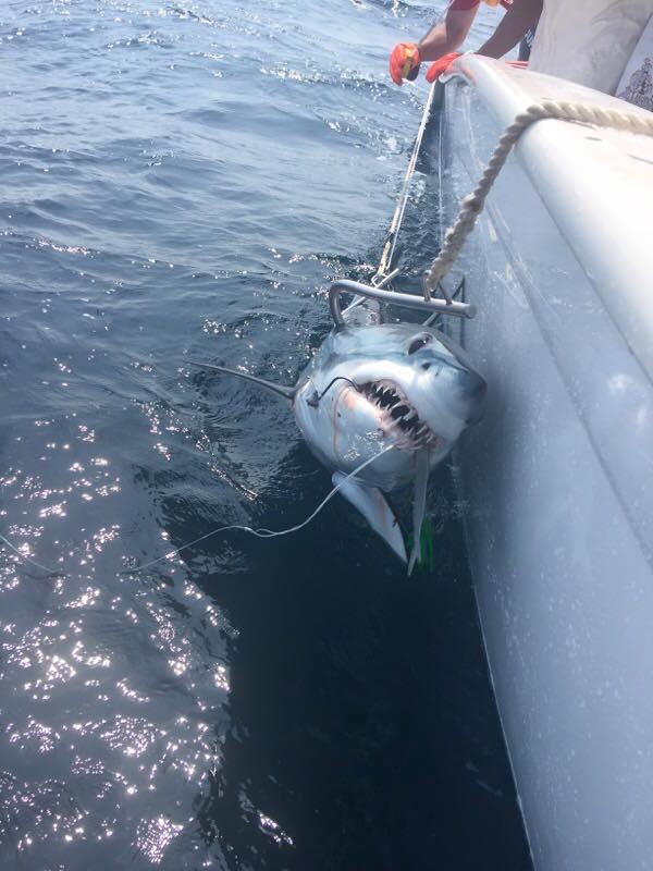 Pirasea fishing team south for Shark fishing nj