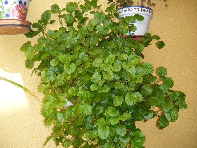 Plantas do meu jardim dicas para deixar a sua planta for Planta del dinero feng shui