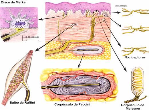 Además de las terminaciones nerviosaslibres de la epidermis, dermis