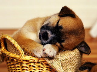 Puppy Sleeping in Basket HD Wallpaper