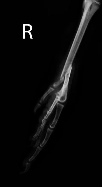 fractura de tarsometatarso en pavo real