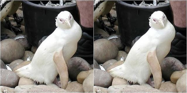 Pinguin, Snowdrop