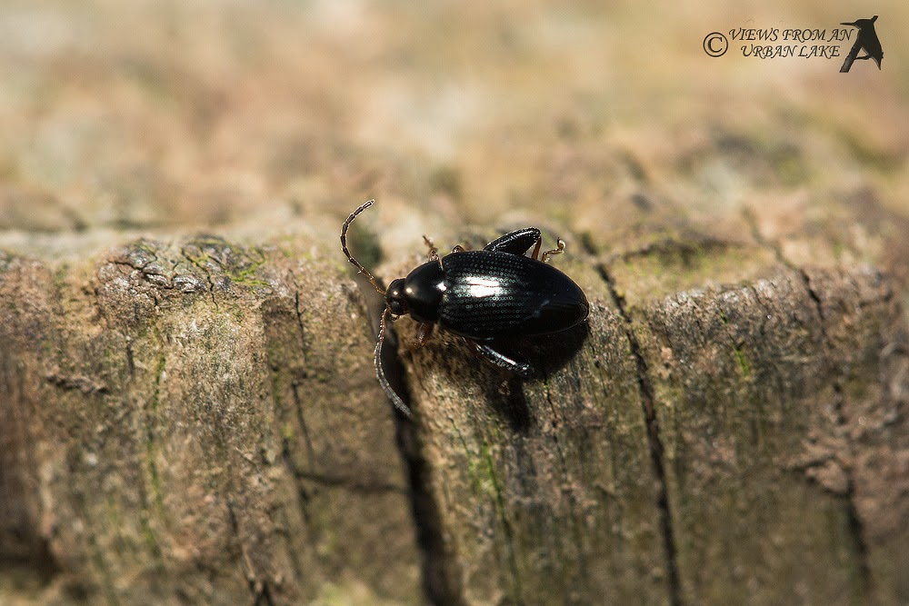 Unknown Beetle - Wolverton Mill, Milton Keynes