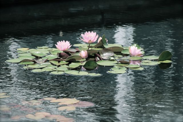 Pink waterlily from Phipps Conservatory this summer.